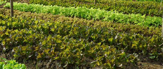 ปลูกผักสลัดขายอาชีพเสริมรายได้หลักแสน